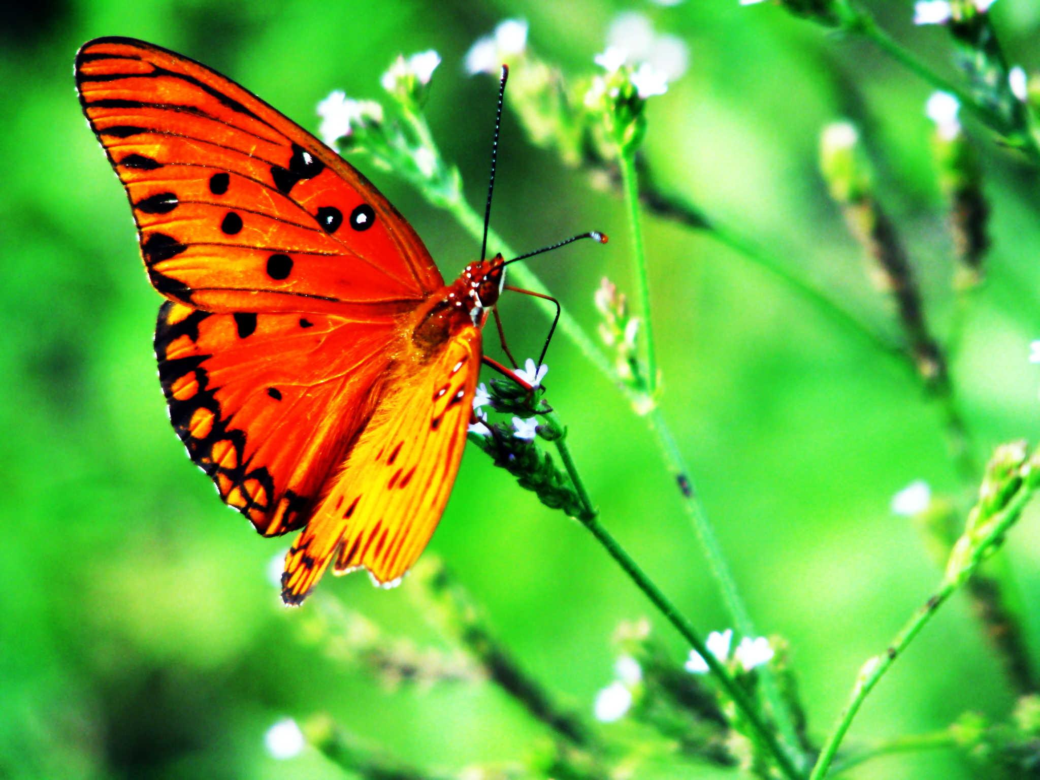 картинки бабочки капустница